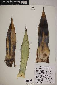 Agave parryi var. couesii image