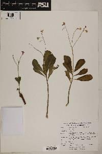 Talinum fruticosum image