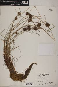 Cyperus niger image