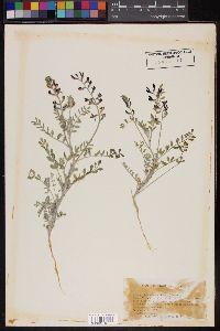 Image of Astragalus niveus