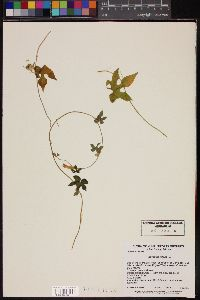 Image of Ipomoea triloba