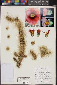 Image of Cylindropuntia chuckwallensis