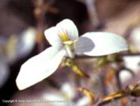 Image of Carlowrightia texana