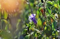 Image of Ruellia peninsularis
