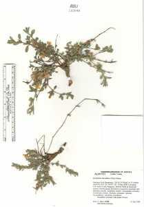 Dyschoriste schiedeana var. decumbens image