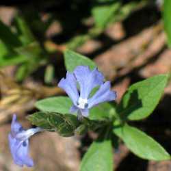 Image of Elytraria imbricata