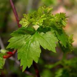 Image of Acer glabrum