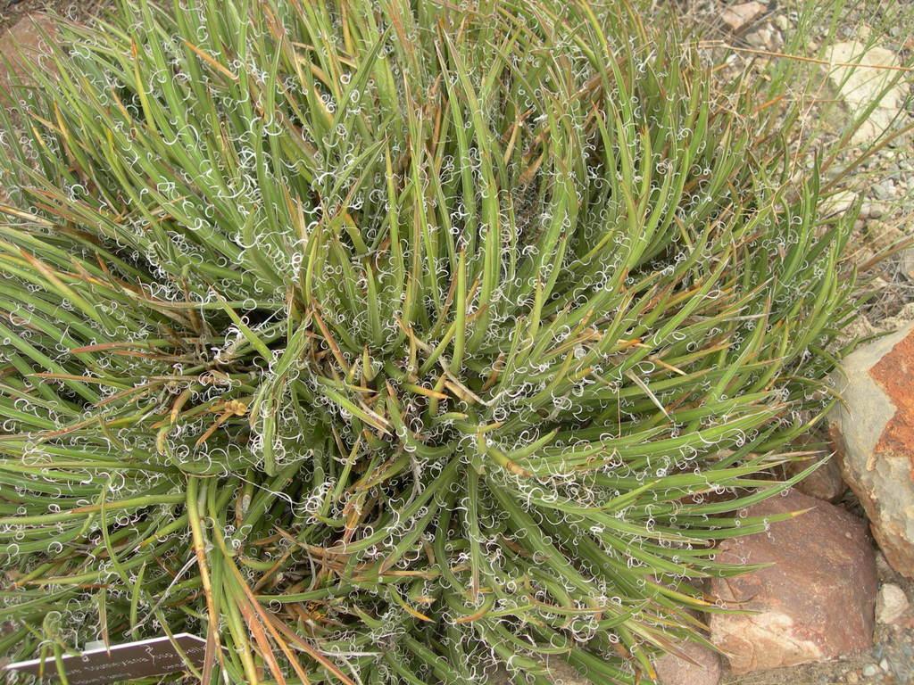 Agave toumeyana var. bella image