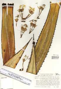 Image of Agave impressa