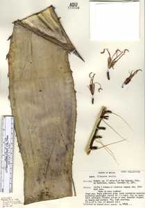 Image of Agave titanota
