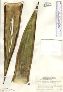 Image of Agave triangularis