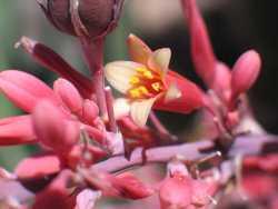 Image of Hesperaloe parviflora