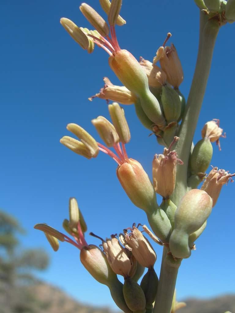 Agave parviflora image