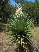 Image of Yucca madrensis