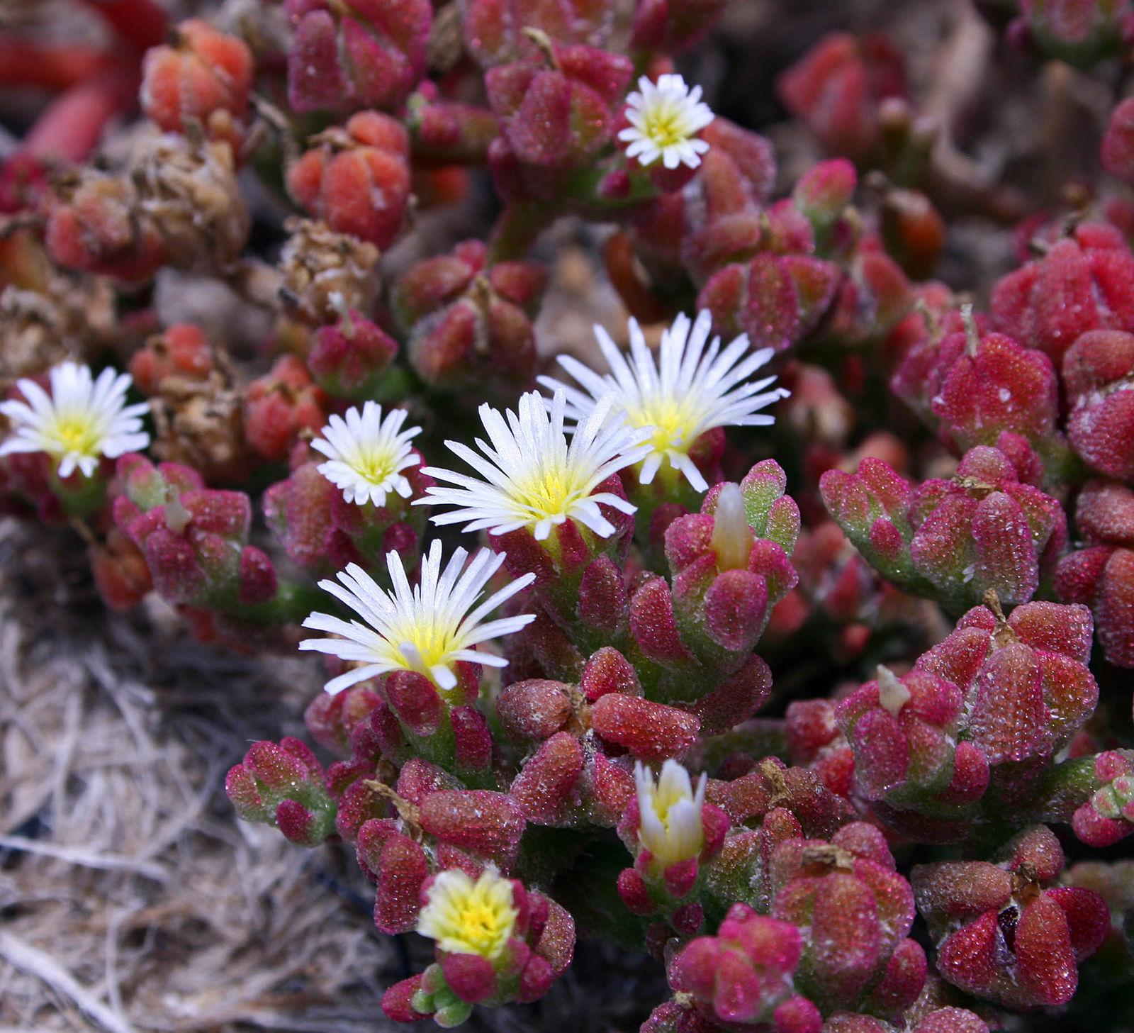 Aizoaceae image
