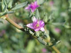Image of Sesuvium verrucosum