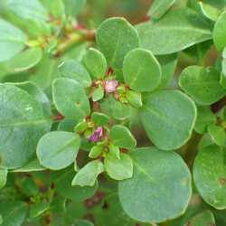 Image of Trianthema portulacastrum