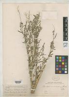 Chenopodium inamoenum image