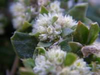 Image of Guilleminea densa