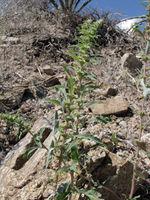 Image of Amaranthus pringlei