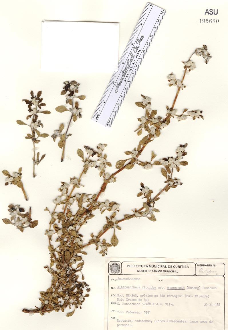 Alternanthera paronichyoides var. chacoensis image