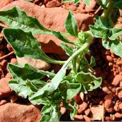 Image of Amaranthus blitoides