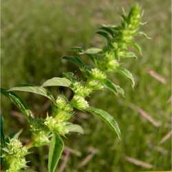 Image of Amaranthus torreyi