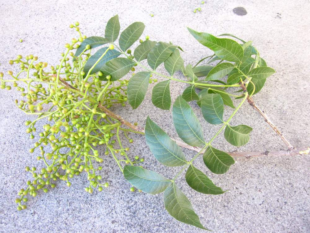 Pistacia chinensis image