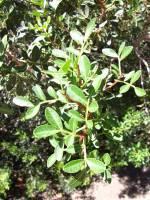 Image of Pistacia lentiscus