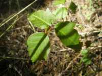 Image of Toxicodendron radicans