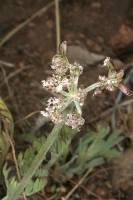 Image of Cogswellia orientalis