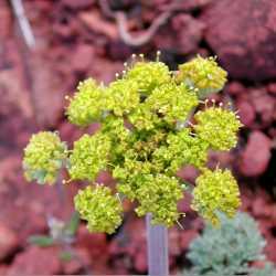 Image of Lomatium foeniculaceum