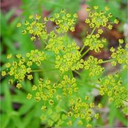 Image of Pastinaca sativa