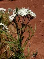 Image of Amsonia peeblesii