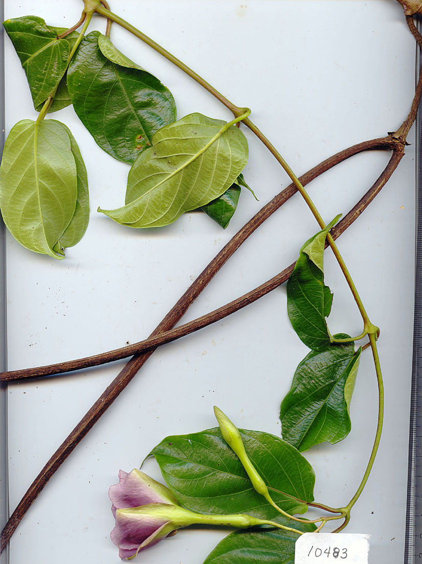 Apocynaceae image