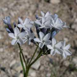 Image of Amsonia palmeri