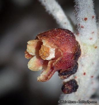 Apodanthaceae image