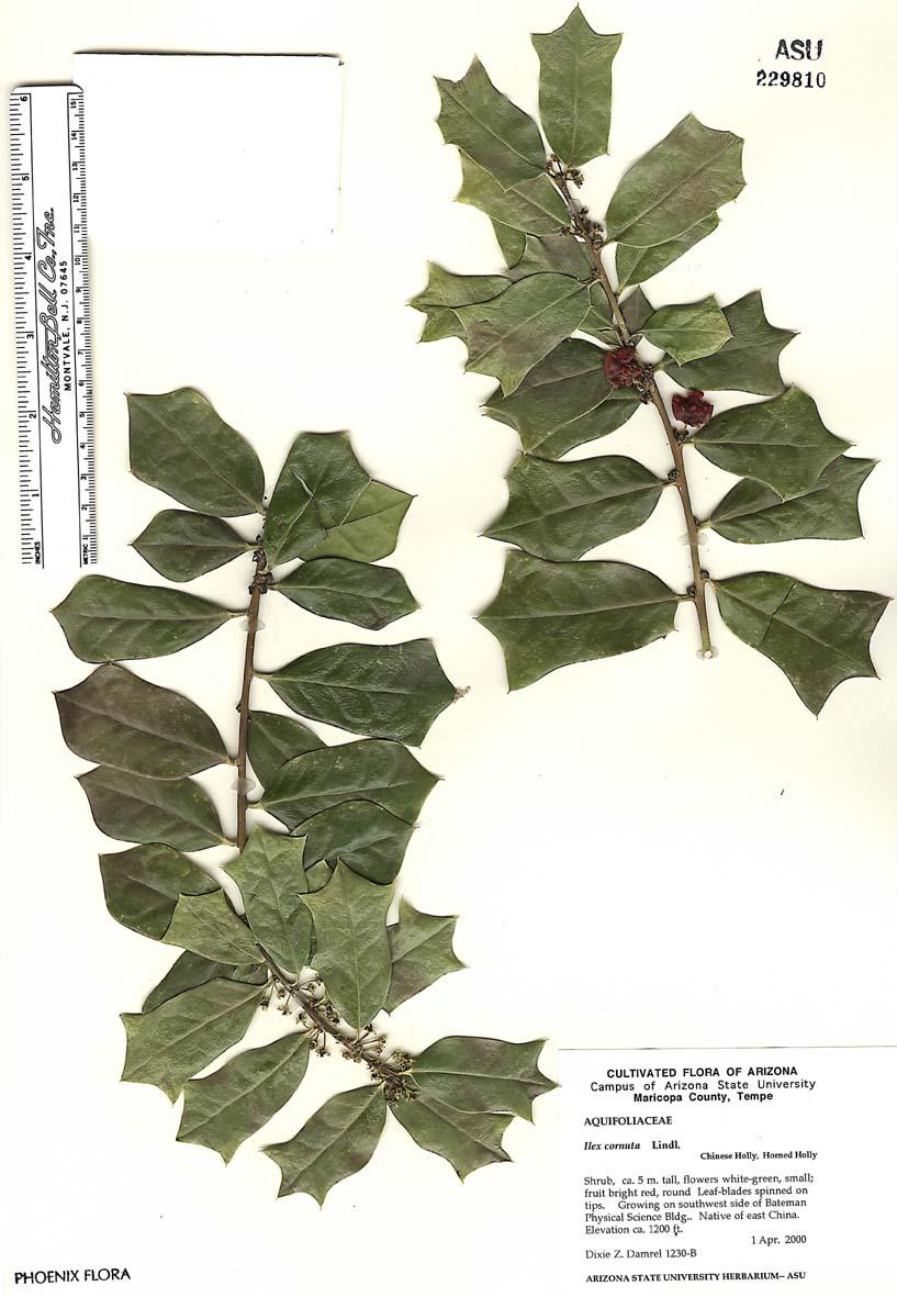 Aquifoliaceae image