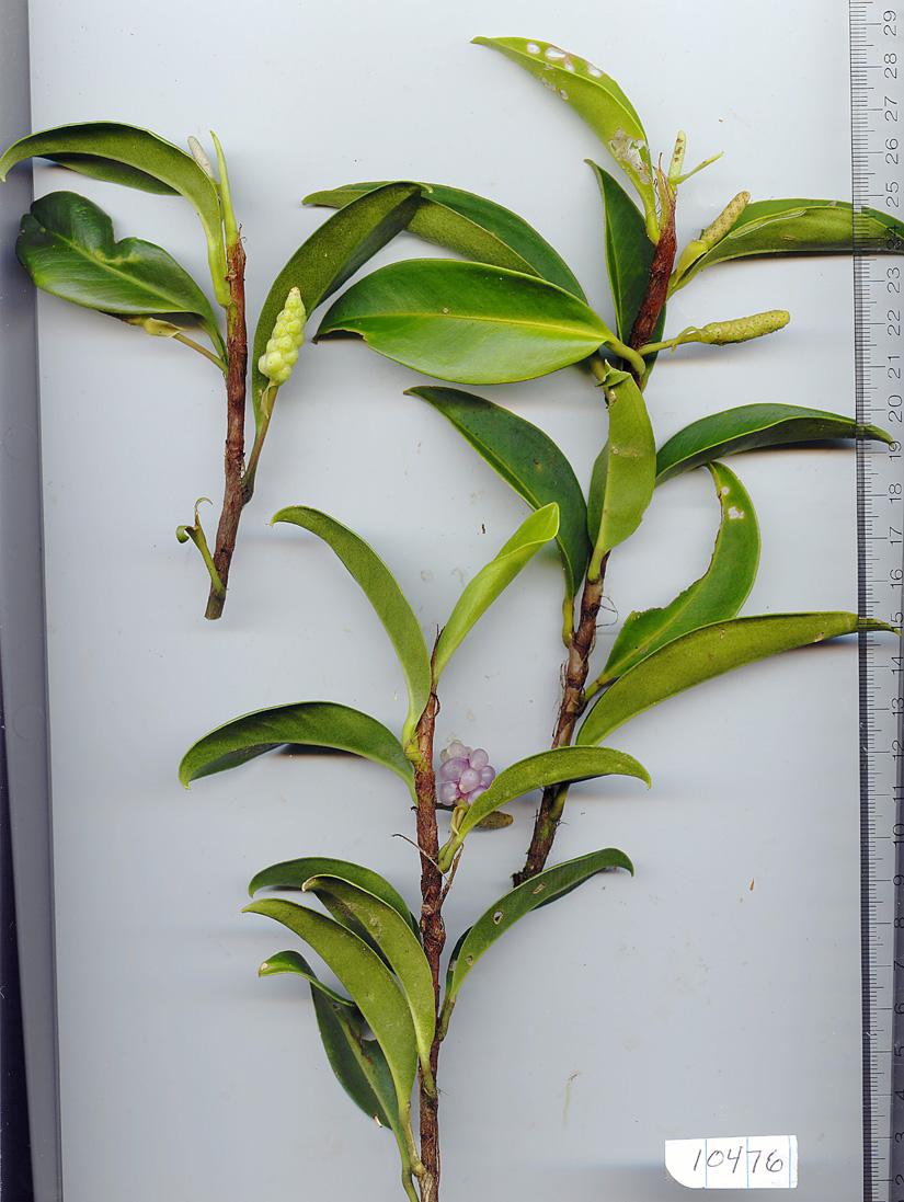 Araceae image