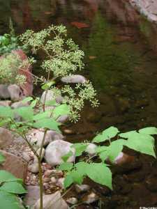 Image of Aralia racemosa