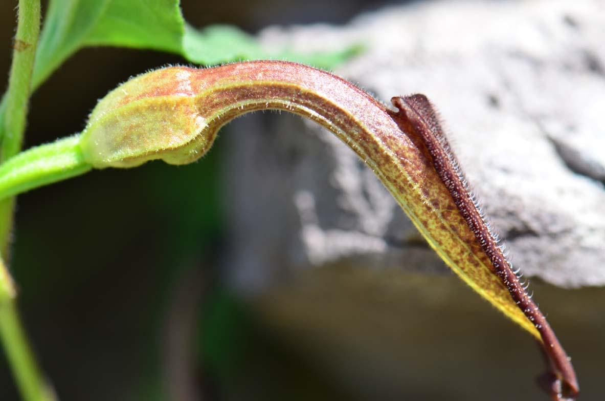 Aristolochiaceae image