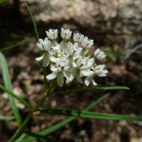 Image of Asclepias angustifolia