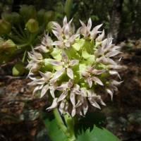 Image of Asclepias lemmonii