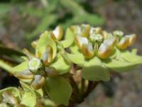 Image of Asclepias glaucescens