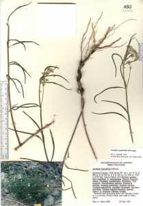 Asclepias angustifolia image