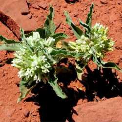 Image of Asclepias nyctaginifolia