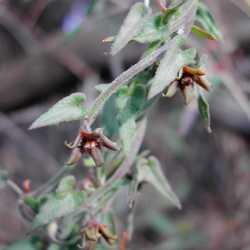 Image of Matelea parvifolia
