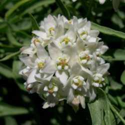 Image of Funastrum heterophyllum