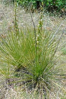 Image of Yucca glauca
