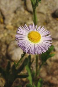 Image of Erigeron lobatus